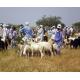 Un marché aux bestiaux, Tchad (cl. Pabame Sougnabe)