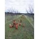 Poules dans un verger d'abricotiers, Aix-en-Provence (13)