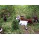 Guide pastoral caprin
