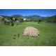 Ovins, vallée des Duyes (04), © Lionel Roux / Maison de la transhumance
