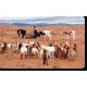 Le troupeau, signe de richesse © Mohamed Mahdi