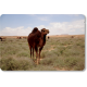Les rares camelins, sous la garde d'un berger collectif © Mohamed Mahdi