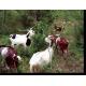 Chèvres sur genévrier commun, Mimet (Étoile) © Cerpam
