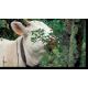 Vache sur érable de Montpellier © Cerpam