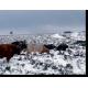 Bovins Galloway au pâturage en hiver, Hérault © Civam Empreinte