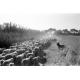 """La présence du chien """"lisse"""" le troupeau © Sophie Gunther"""